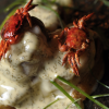 Thumbnail image for Asian Shore Crab