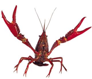 [Image: Crayfish.png]