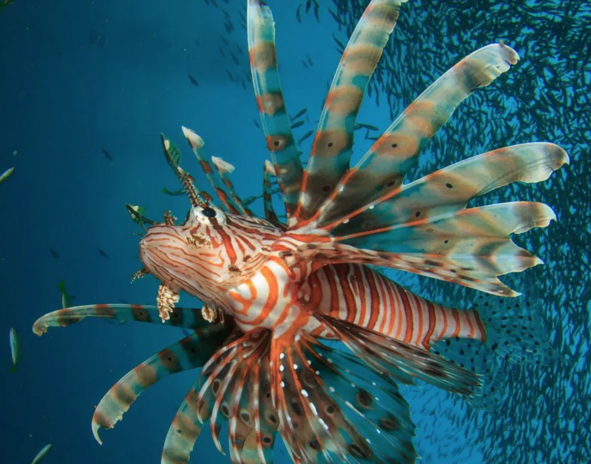 The Lionfish Market