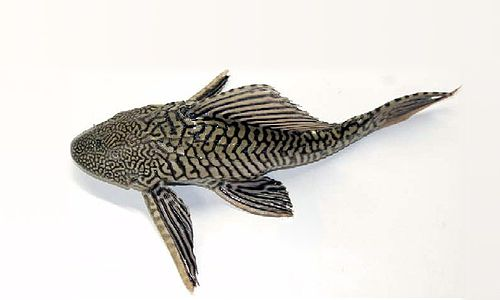 Armored Catfish